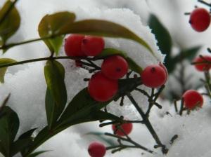 biji merah dan salju 6 copie
